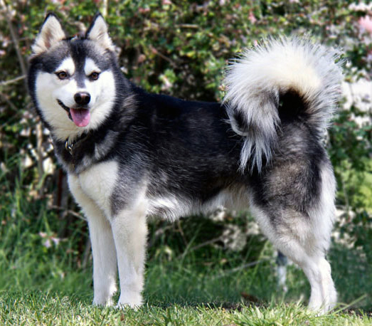 alaskan klee kai info temperament puppies care pictures. Black Bedroom Furniture Sets. Home Design Ideas