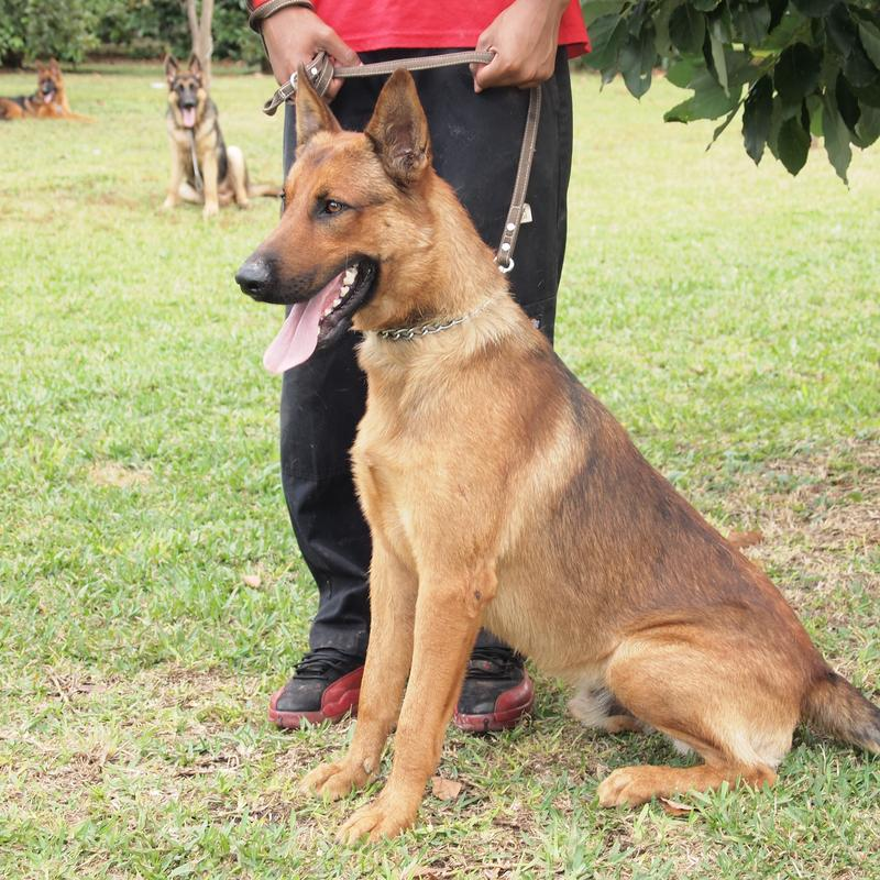 Belgian Malinois Info, Temperment, Care, Puppies, Pictures ...