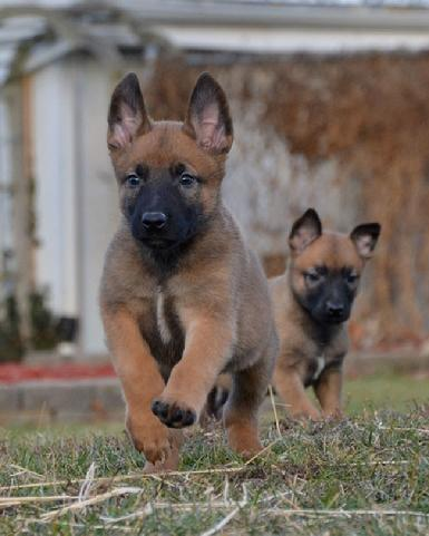 Belgian-Shepherd-Malinois-Puppies.jpg