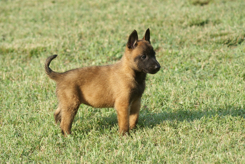 dog puppy belgian shepherd malinois dog belgian shepherd malinois