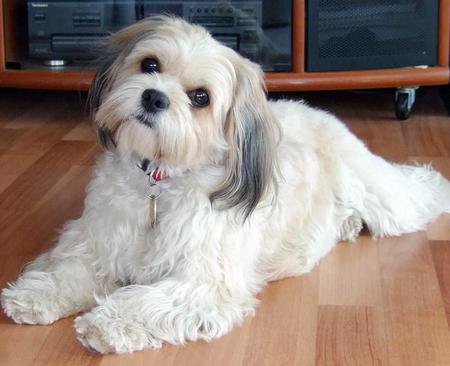 White Cavachon Dogs Full-Grown