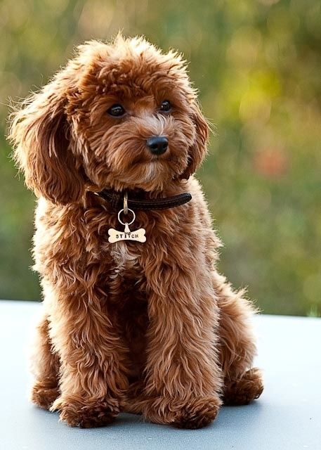 Cavapoo King Charles Spaniel Poodle Mix | Dog Breeds Picture