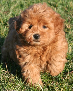 Mini Toy Goldendoodle Puppy | Dog Breeds Picture