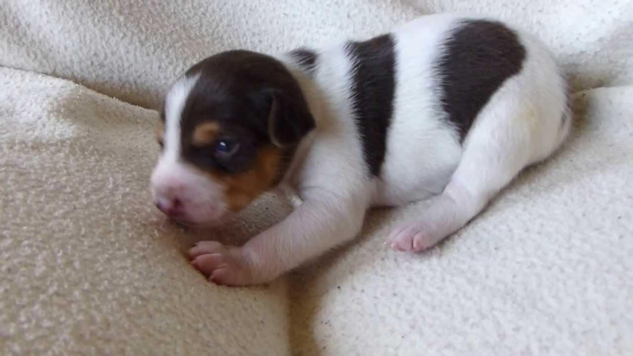Rat Terrier Info, Temperament, Care, Puppies, Pictures