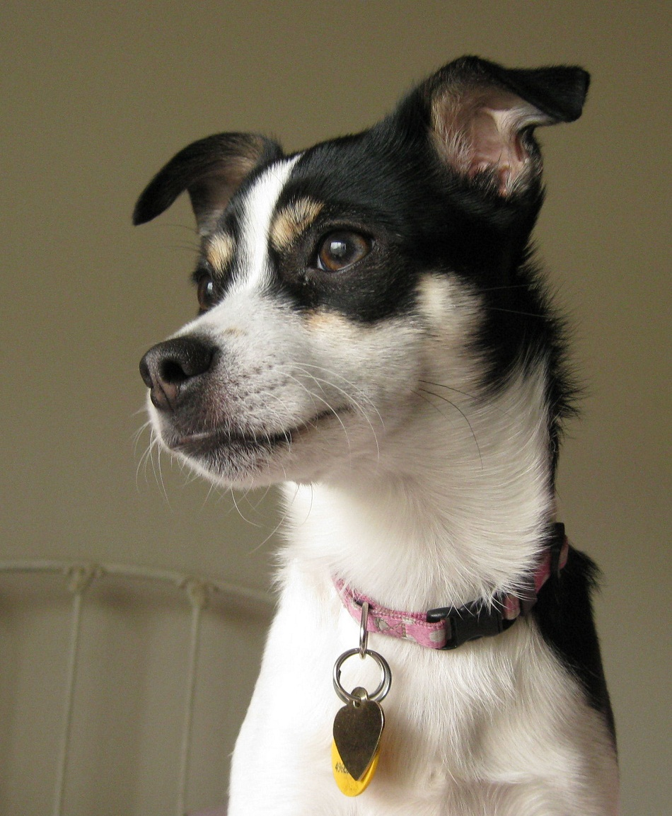 rat terrier images rat terrier photos rat terrier pictures rat