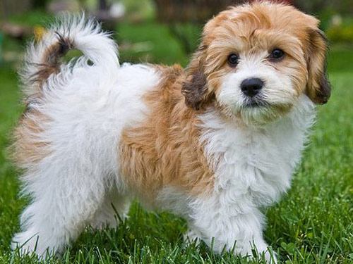 Cavachon Size And Weight for Pinterest