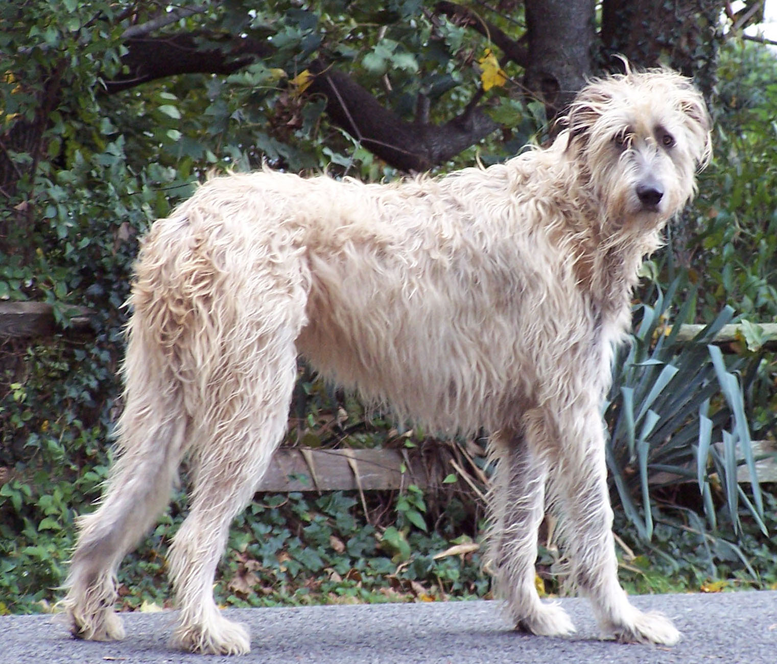 Irish Wolfhound Info, Temperament, Puppies, Pictures, Lifespan