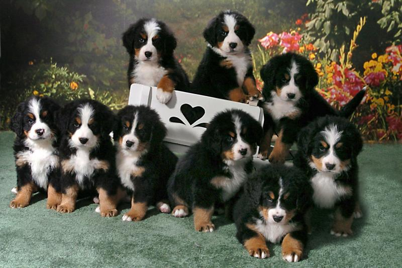 bernese mountain dog puppies bernese mountain dog puppy pictures ...