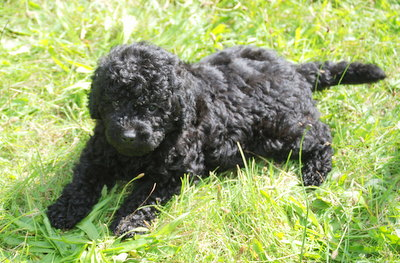 Pics For > Black Australian Labradoodle Mini