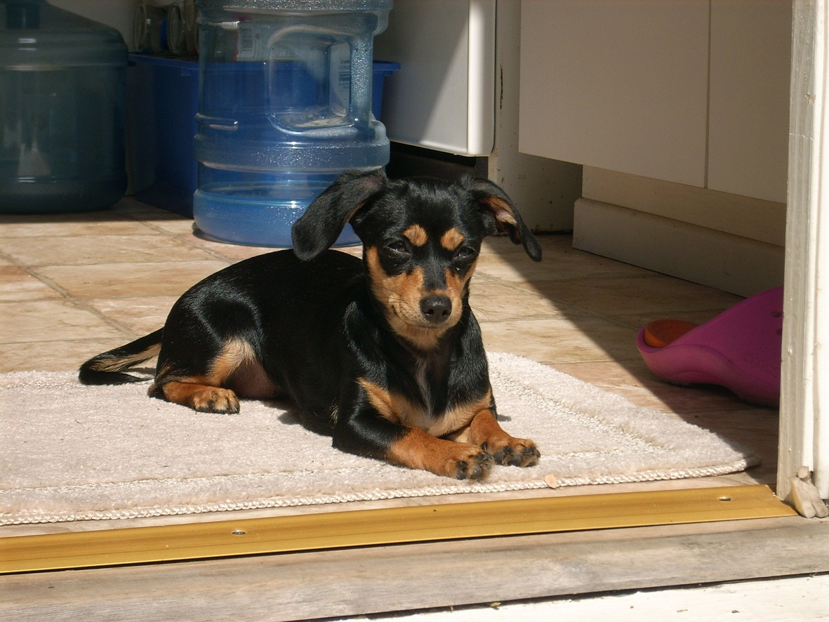 black and tan chiweenie dog black and tan chiweenie black and white ...