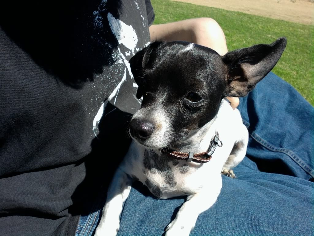 Pics photos dachshund chihuahua dog mix dogs pictures photos pics - Black And White Chiweenie