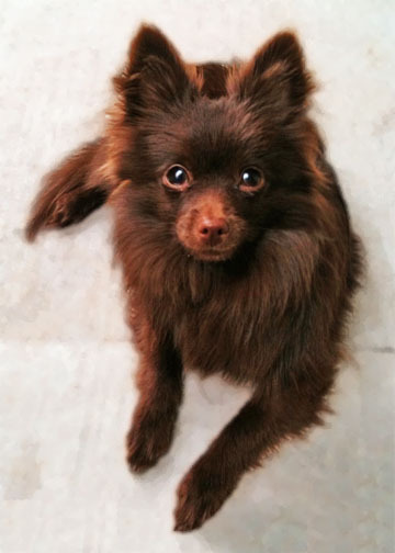 Brown Pomeranian Full Grown