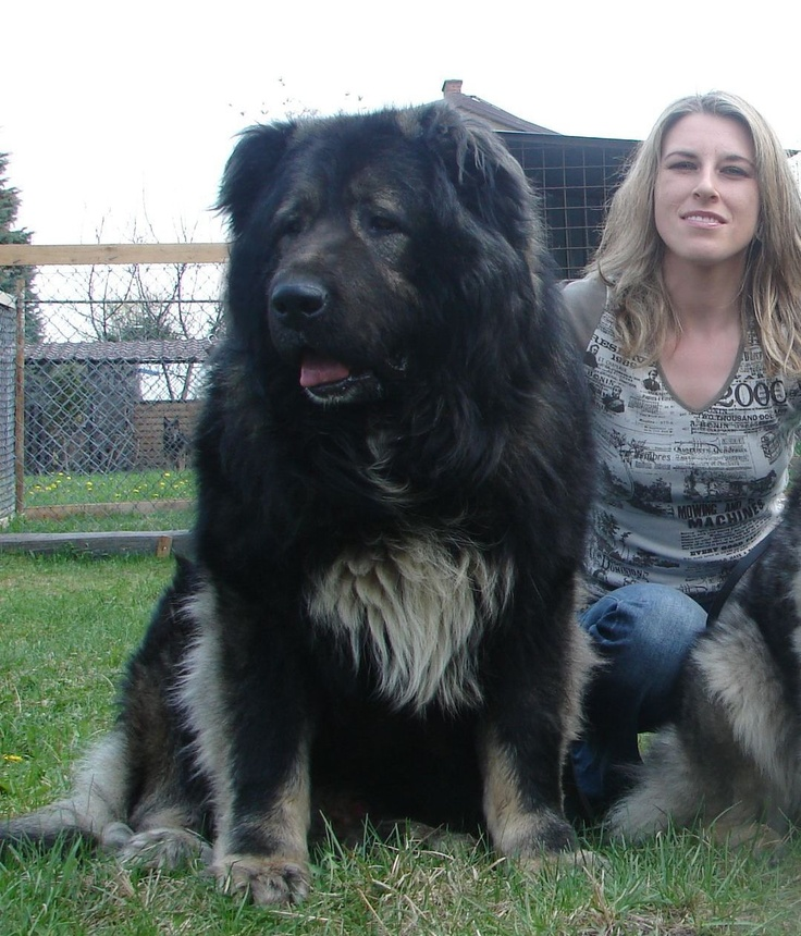 Giant Caucasian Shepherd Dog - Hot Girls Wallpaper