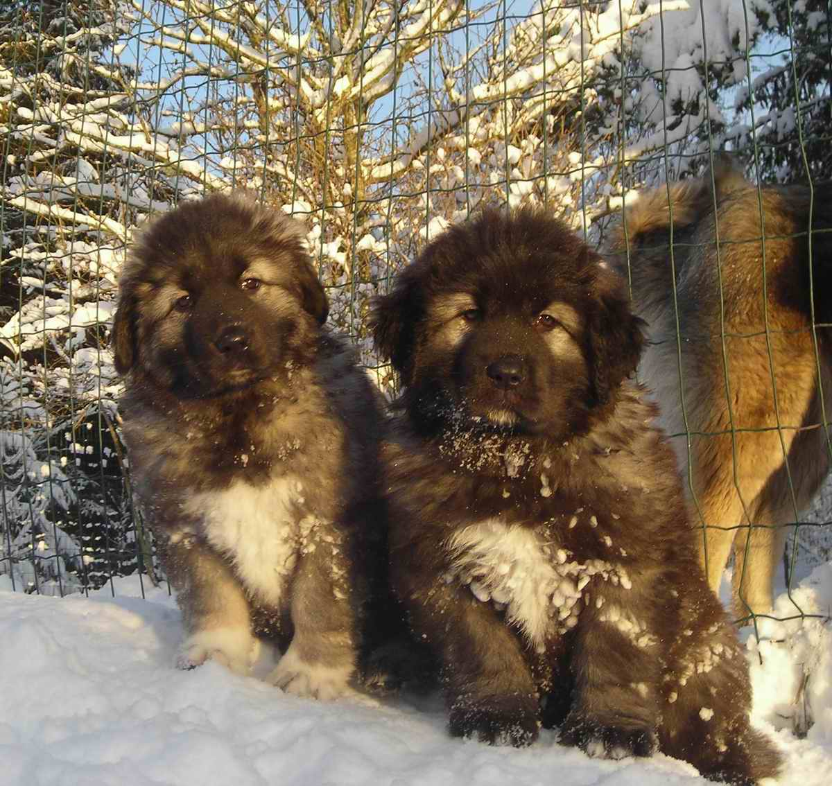 Caucasian Ovcharka Dog Info, Temperament, Puppies ...