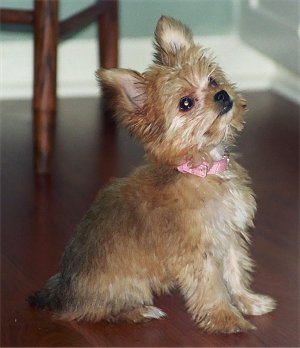 Chorkie Yorkie Chihuahua Mix Info Temperament Puppies
