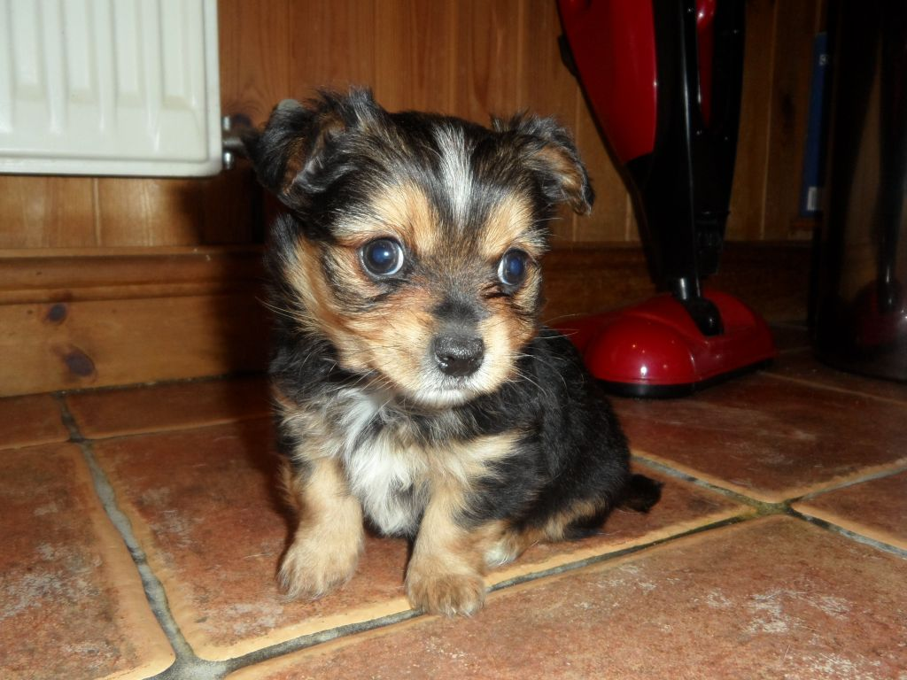 chorkie yorkiechihuahua mix info temperament puppies