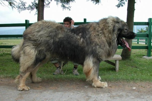 Caucasian Ovcharka Dog Info, Temperament, Puppies, Training, Pictures