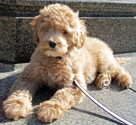 The Gallery For Gt Goldendoodle Teddy Bear Cut