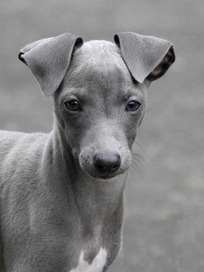 Italian Greyhound Info, Temperament, Puppies, Pictures