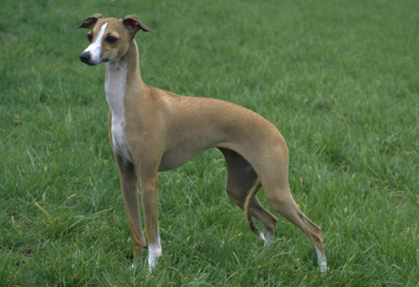 Italian Greyhound miniature Breed Info, Mix, Puppies, Pictures