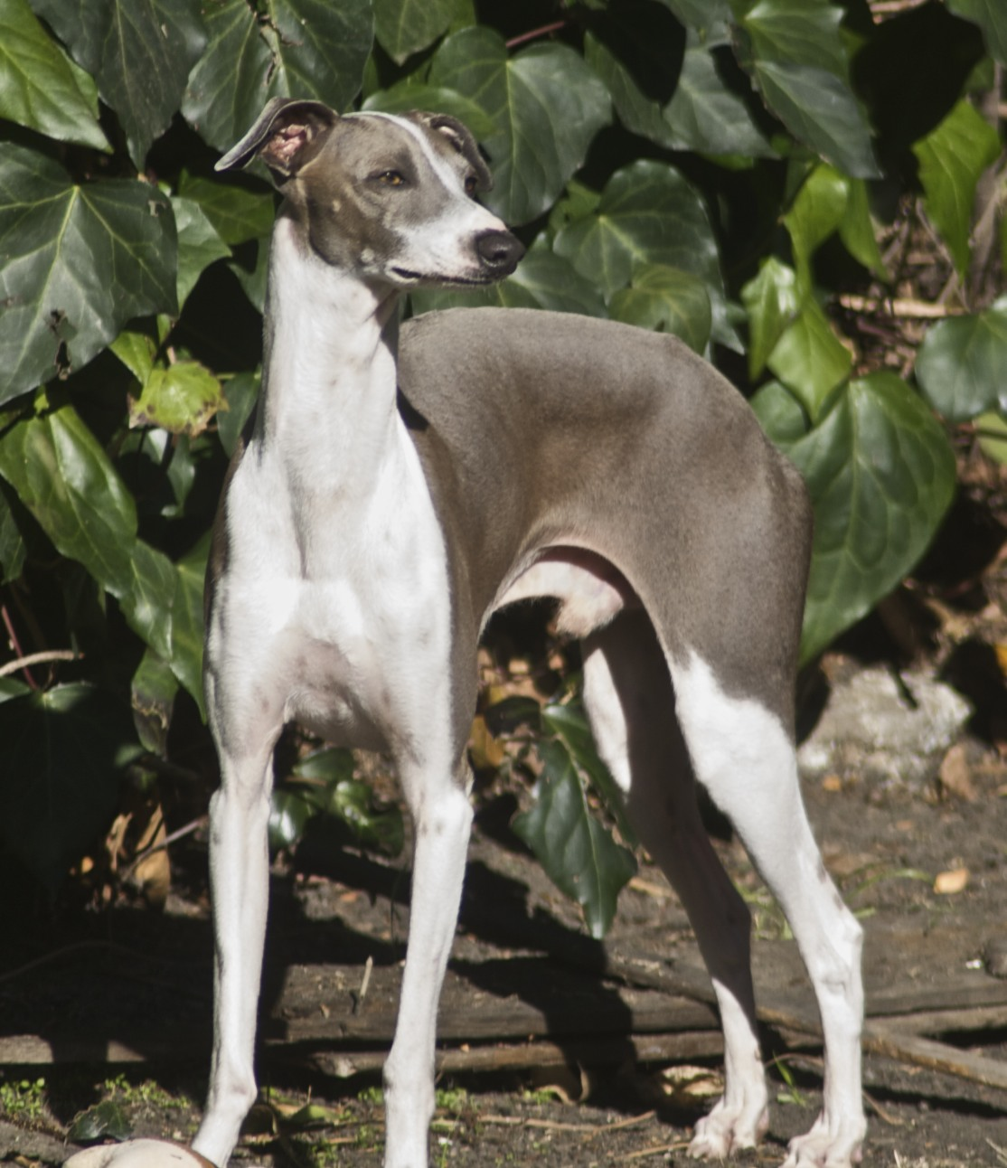 italian greyhound pictures italian greyhound puppies italian greyhound ...