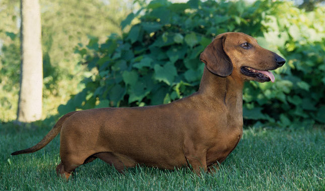 Long haired miniature dachshund breed information