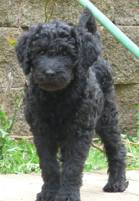 The gallery for --> Black Labradoodle Puppy