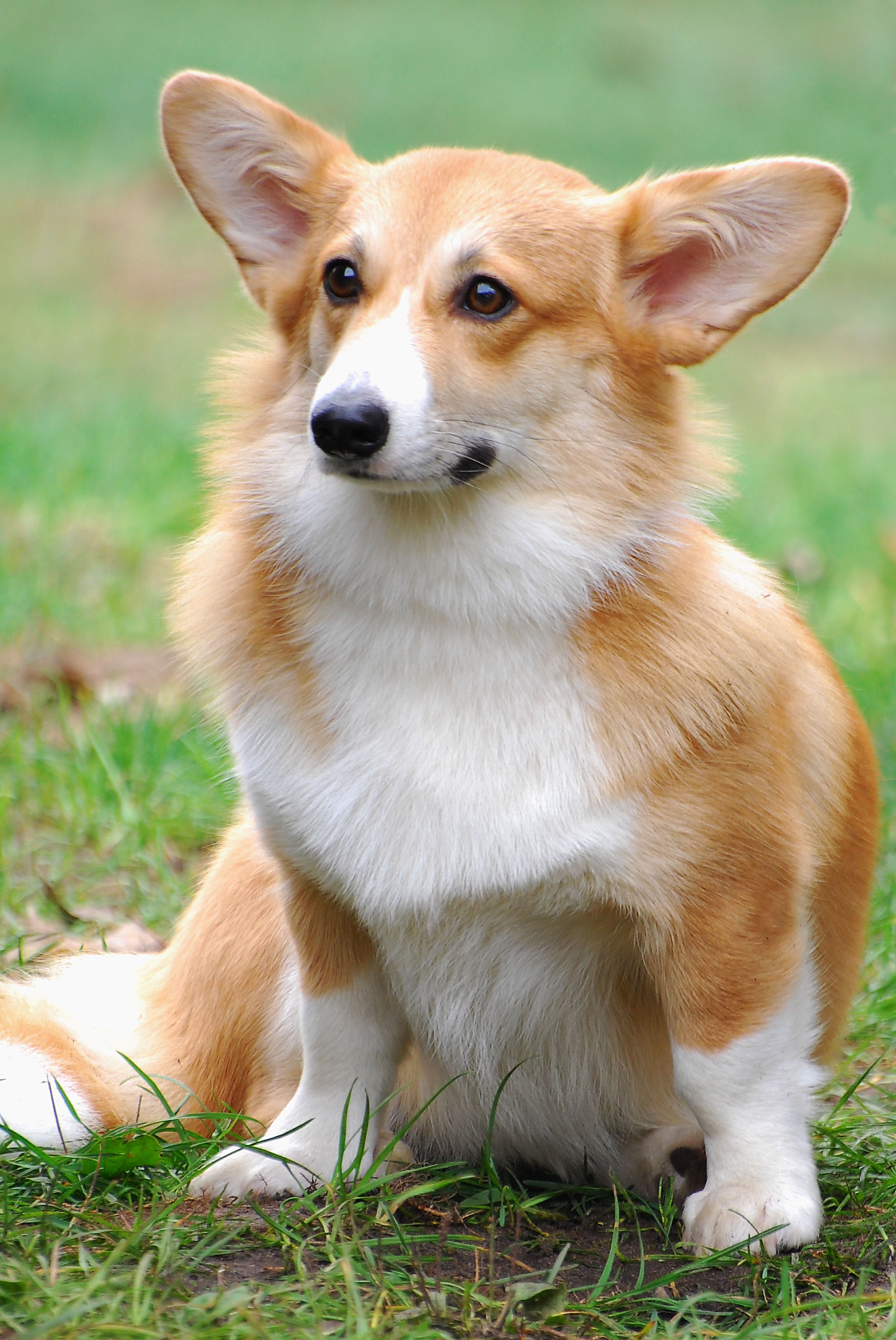 Pembroke Welsh Corgis Info, Facts, Temperament, Puppies, Pictures White Pet Fox