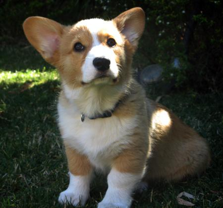 Pembroke Welsh Corgis Info, Facts, Temperament, Puppies ...