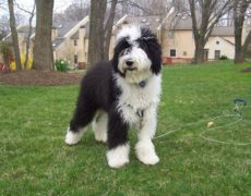 Sheep Dog Puppies For Sale Ontario