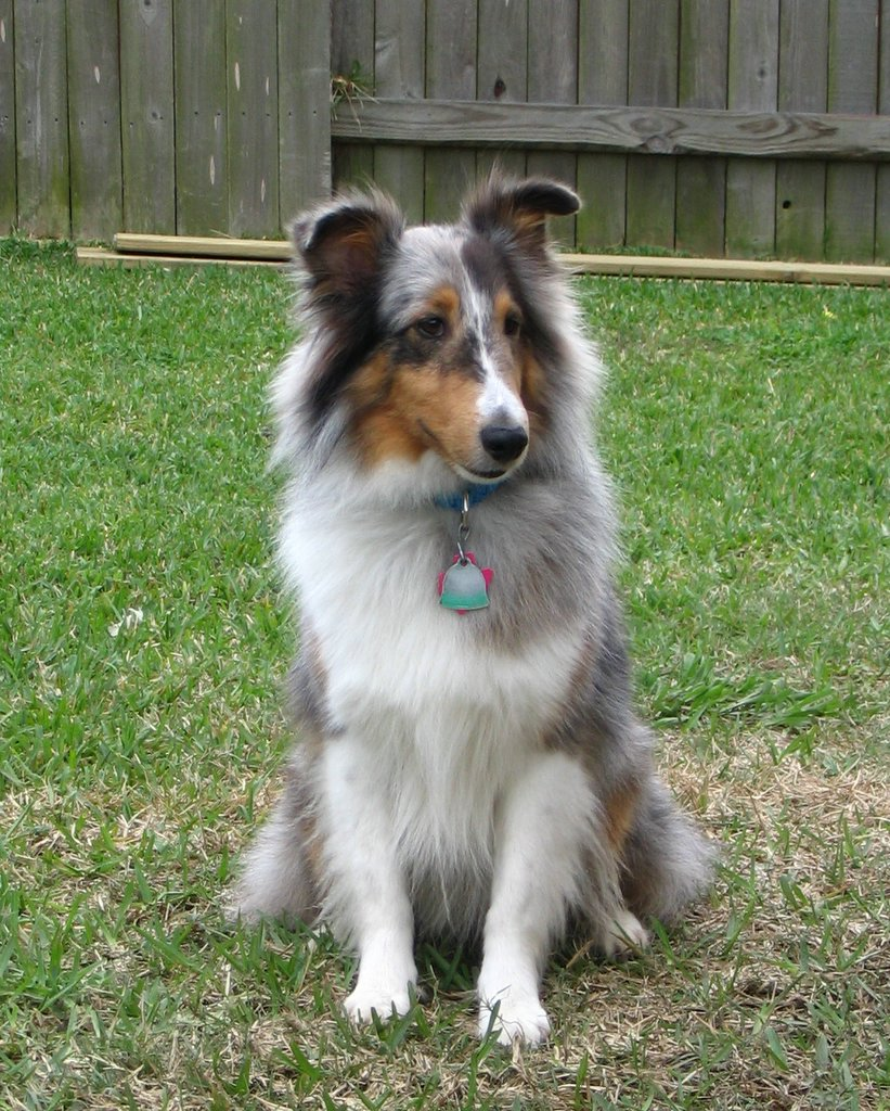 Blue merle sheltie shetland sheepdog sheltie info puppies pictures