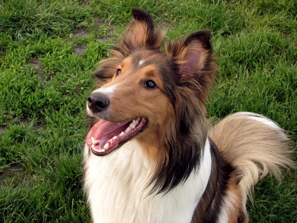 Shetland Sheepdog (Sheltie) Info, Puppies, Pictures ...
