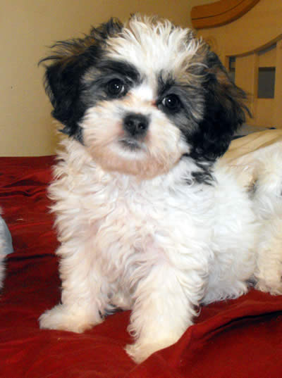 Teddy Bear Puppies Black And White Shichon teddy bear