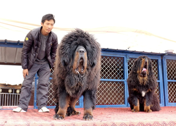 Size tibetan mastiff dog info puppies sale cost facts pictures