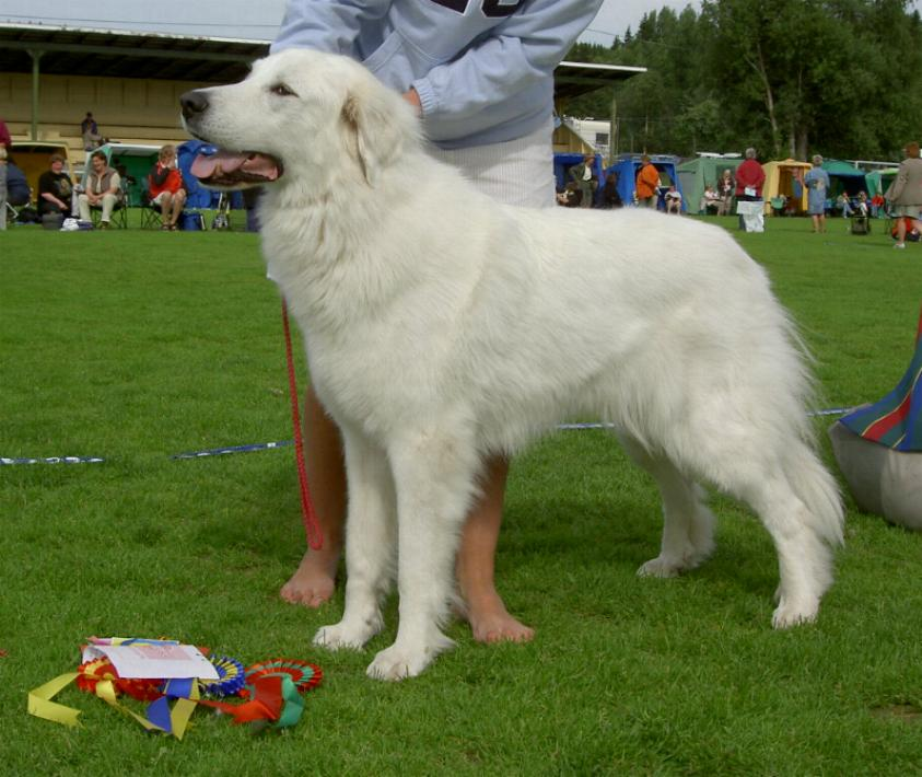 White Pyrenean Mountain Dog Puppies
