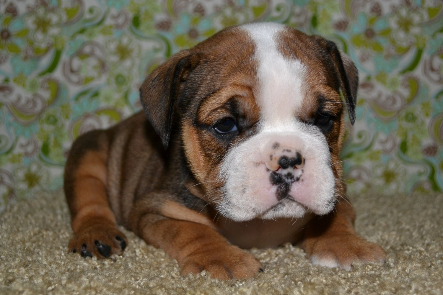 Boxer Dog Breed Information Pictures Characteristics