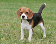 pocket beagle mini beagle miniature beagle puppy newborn pocket beagle ...