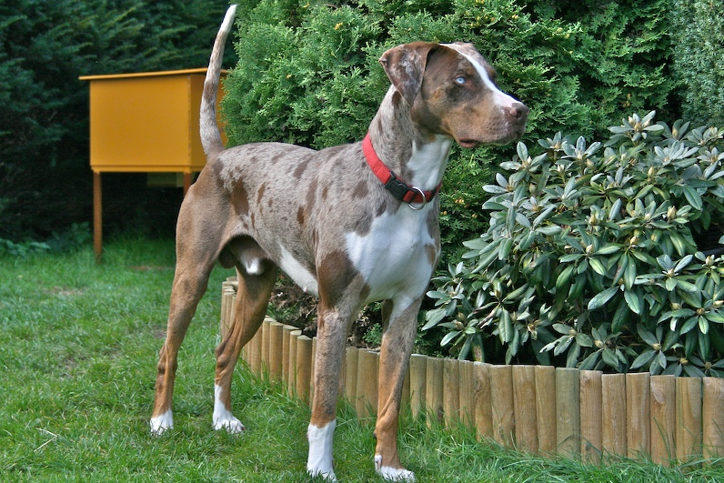 Louisiana Catahoula Leopard Dog ( Catahoula Cur)