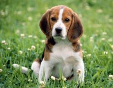 mini beagle miniature beagle puppy newborn pocket beagle pocket beagle ...