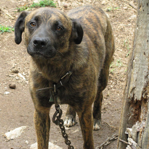 black mountain cur mountain cur dog pictures mountain cur dog