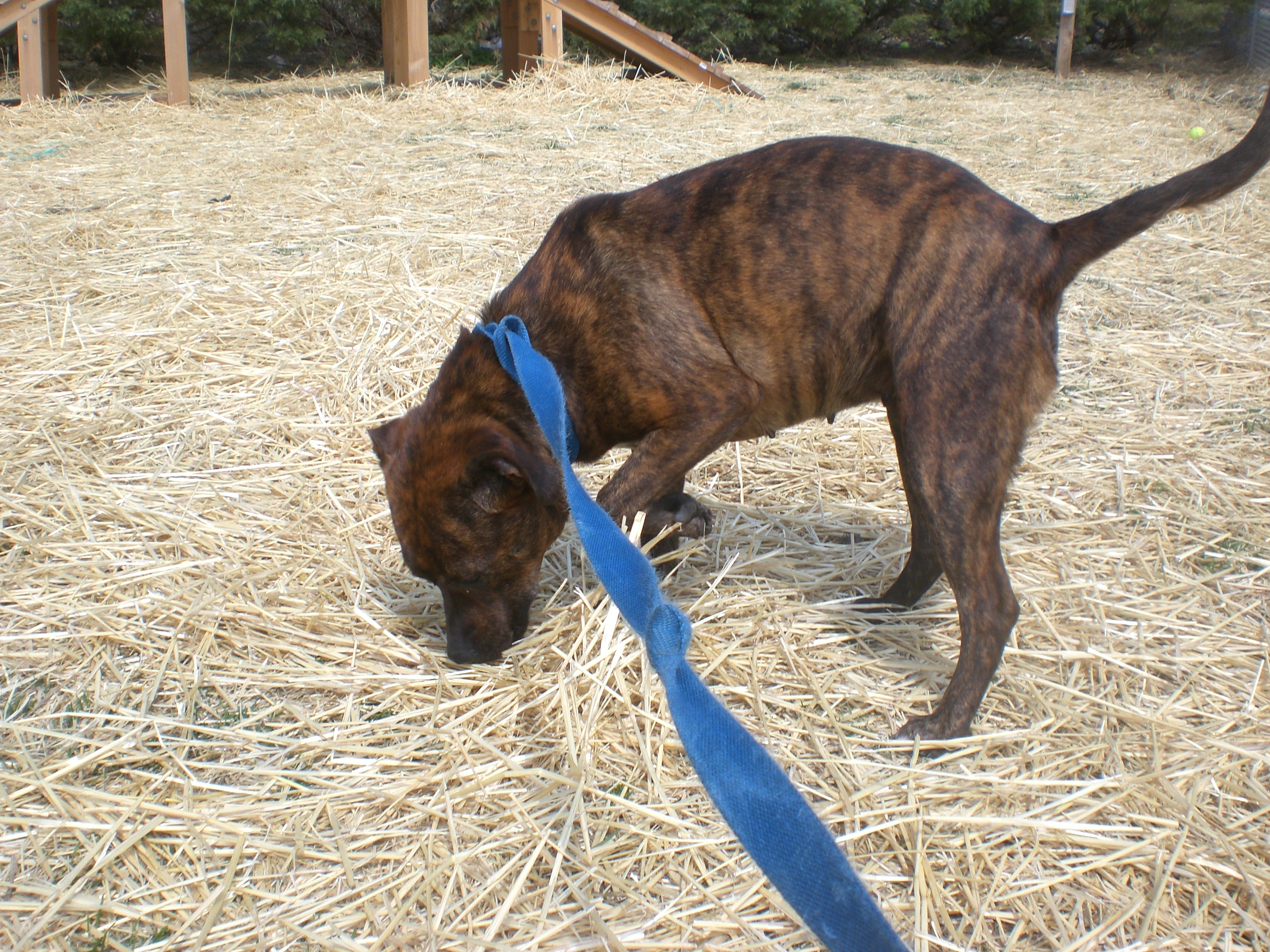 Mastiff dog breed information pictures characteristics amp facts - Mountain Cur