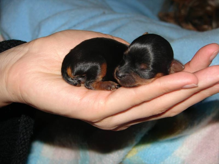 Dorkie (Dachshund-Yorkie Mix) Info, Temperament, Puppies, Pictures