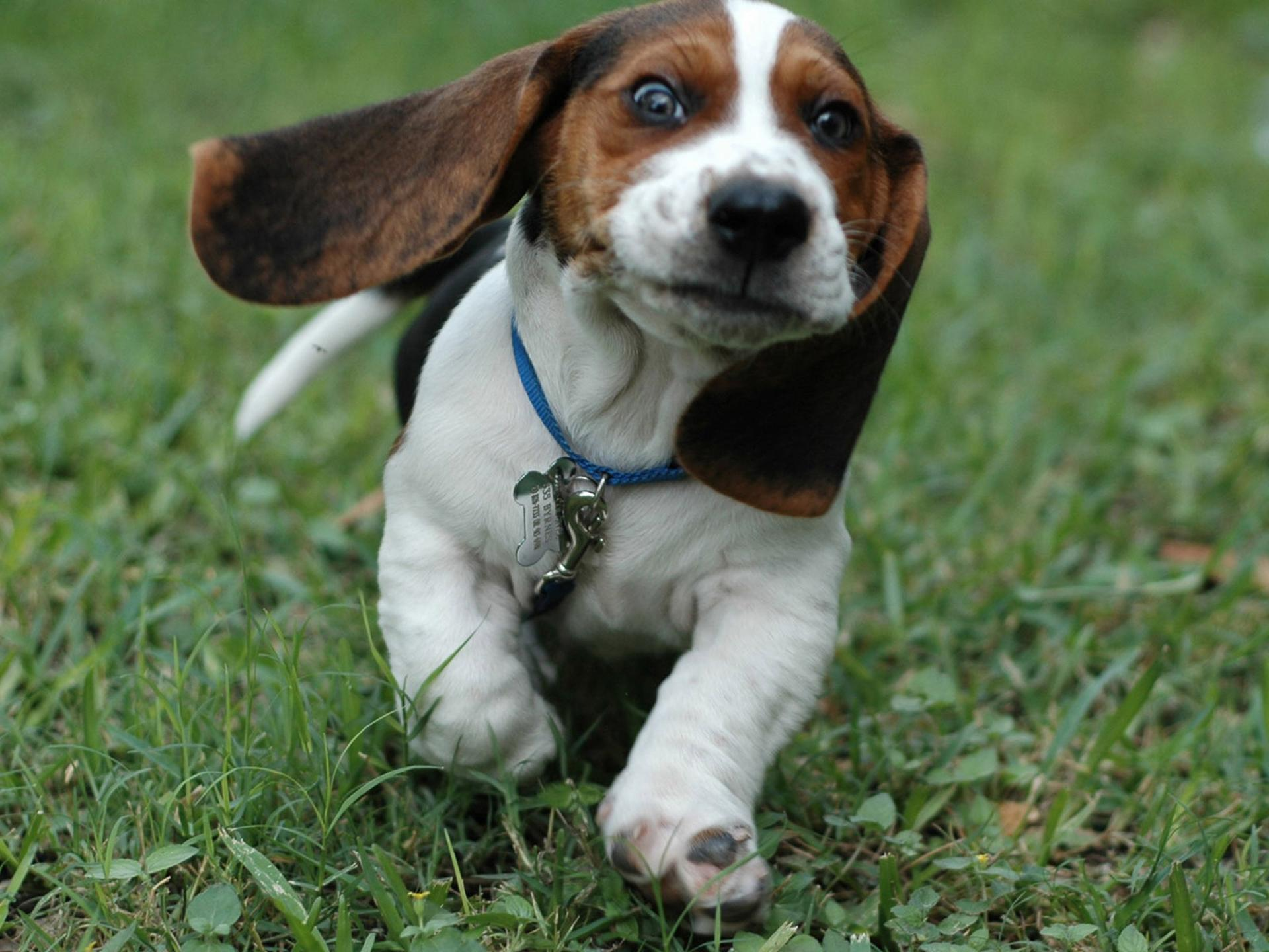 Pocket Beagle Dog Info, Temperament, Training, Puppies, Pictures