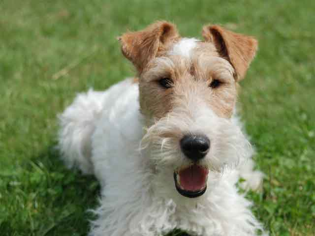 Wire Haired Terrier : Wire fox terrier info temperament grooming puppies