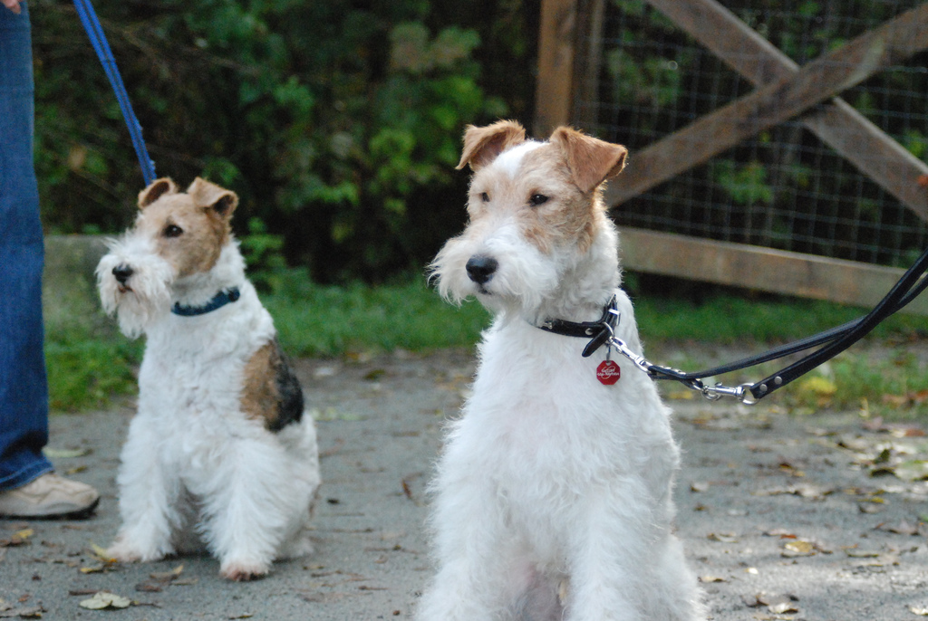 fox terrier white wire fox terrier wire fox terrier images