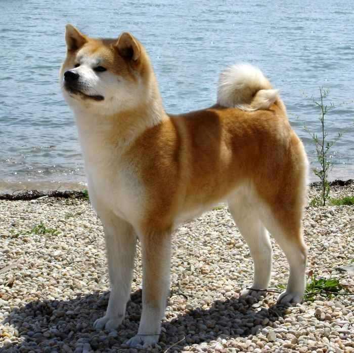 Japanese Akita Inu Info, Temperament, Puppies, Pictures