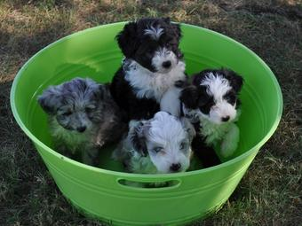 Pin Aussie Poo Picture on Pinterest