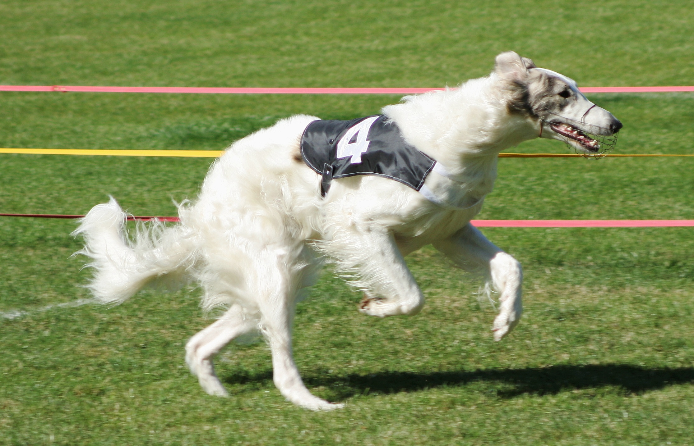 Lab-Pointer  Borzoi