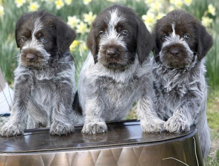 German Wirehaired Pointer Info, Temperament, Puppies, Pictures