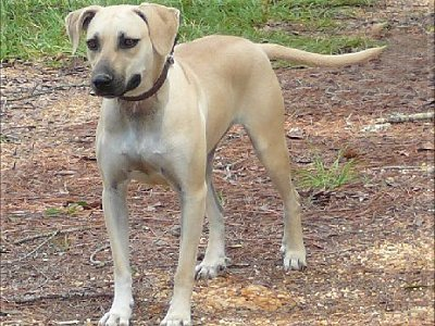 Black Mouth Cur Info, Temperament, Training, Puppies ...